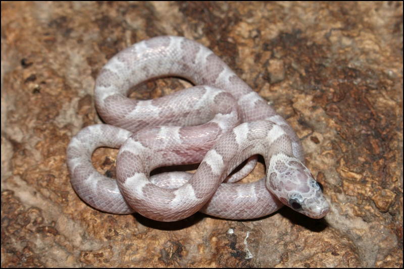 klein_0.1 Sunkissed Ghost het Bloodred ph Charcoal III - out of egg.jpg