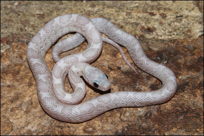 klein_1.0 Sunkissed Platinum het Bloodred ph Motley 2. Haut.jpg