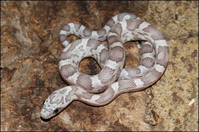 klein_1.0 Sunkissed Ghost het Charcoal Bloodred Motely III - 1. Haut.jpg