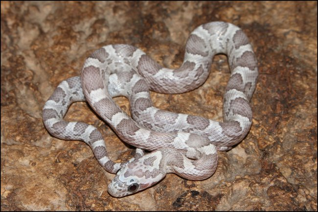 klein_0.1 Sunkissed Ghost het Charcoal Bloodred Motley I - 1. Haut.jpg