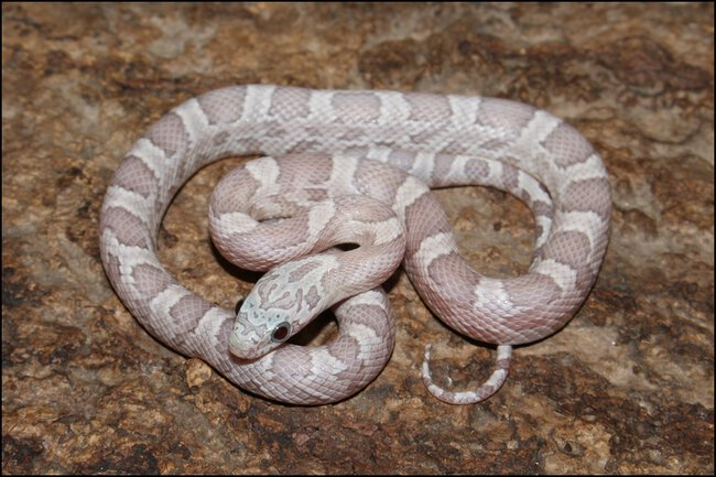 klein_1.0 Sunkissed Ghost het Charcoal Bloodred Motley 1 - 2. Haut.jpg