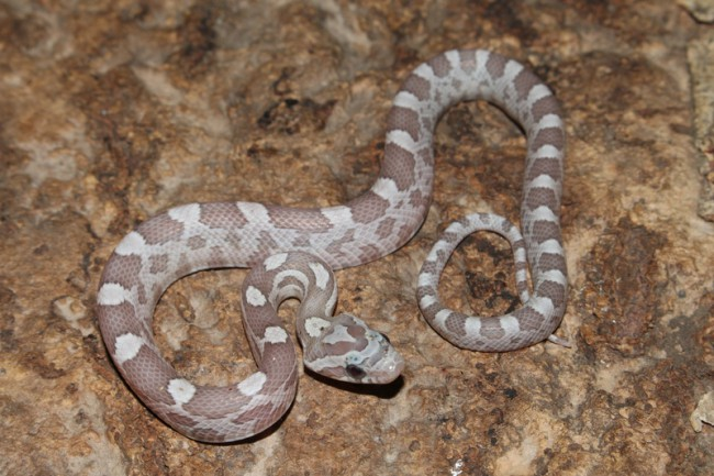 klein_Ghost het Sunkissed Charcoal Bloodred Striped 1.jpg
