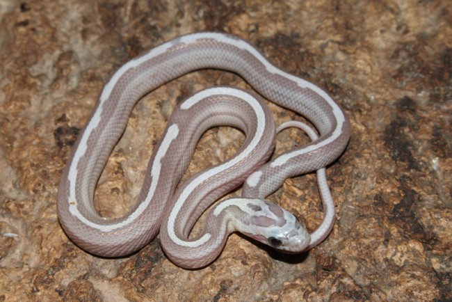 klein_Ghost Motley het Sunkissed Charcoal Bloodred Striped 1.jpg