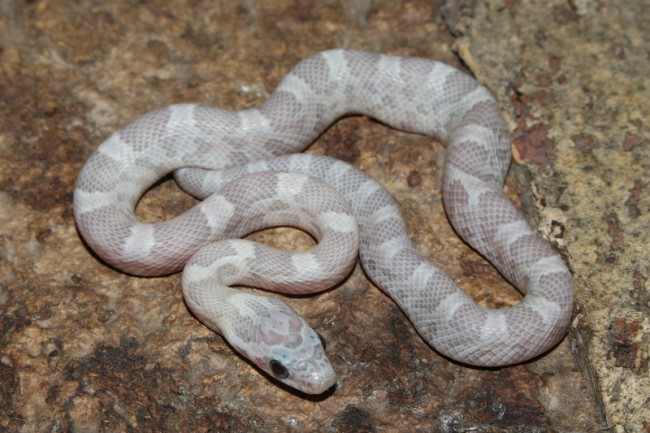 klein_Sunkissed Ghost het Charcoal Bloodred Striped 1.jpg