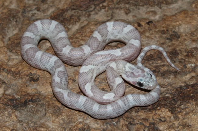klein_Sunkissed Ghost het Charcoal Bloodred Striped 2.jpg