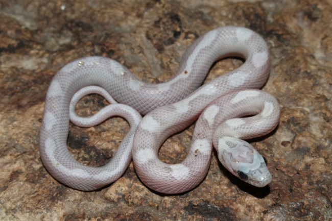 klein_Sunkissed Ghost Motley het Charcoal Bloodred Striped 1.jpg