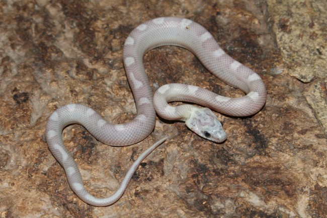 klein_Sunkissed Ghost Motley het Charcoal Bloodred Striped 3.jpg