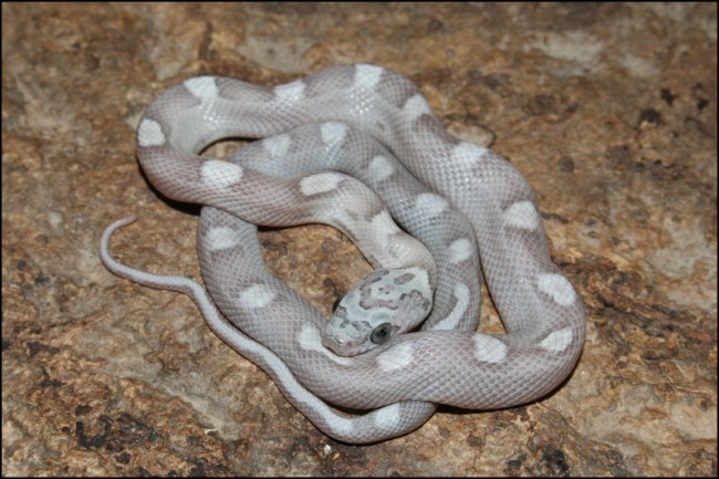 0.1 Sunkissed Ghost Motley-x-Striped het Charcoal Bloodred II - holdback